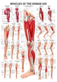The Human Anatomy Muscles Torn Plantaris Muscle Treatment Human Anatomy Charts