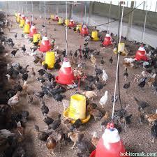 Termometer Kandang Ayam 7 peralatan kandang yang digunakan untuk mendukung budidaya ayam