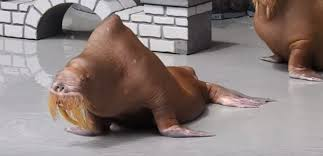 emaciated walrus leads to controversy at marine park
