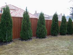 a beautiful hedge of spartan junipers for backyard privacy learn