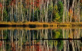 751779 birch tree wallpapers