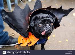 pet halloween costumes uk london uk 27th october 2013 boris the pug dressed up wearing a
