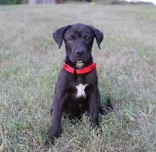boxer dog utah labrador mixed with boxer labradors pinterest labrador mix