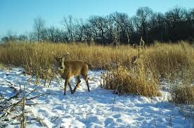 switchgrass plantings for deer bedding whitetail habitat solutions