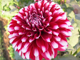a delhi gardener u0027s blog winter annuals season again in delhi