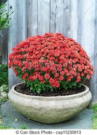 stock photography of fall garden mums flowers in planter a