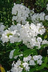The Most Fragrant Plants - phlox fragrant collection flowering period july august