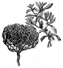 tumbleweed anastatica hierochuntica tumbleweed or resurrection plant old v