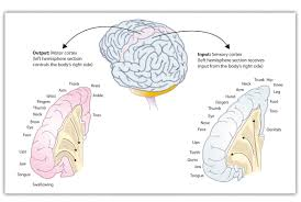 Anatomy Of The Brain And Functions 3 2 Our Brains Control Our Thoughts Feelings And Behavior