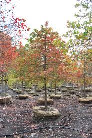 ornamental trees planters choice bomen voor kleine tuinen