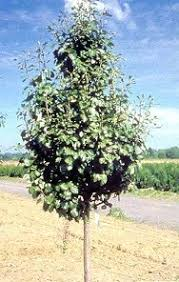 non fruit bearing pear tree types the best 2017