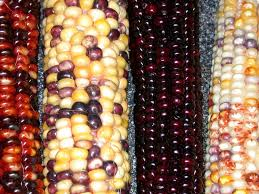 142 best indian corn images on autumn fall harvest