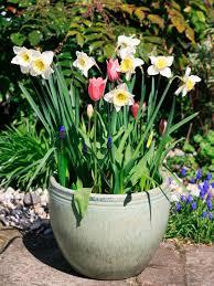 planting spring bulbs in pots hgtv