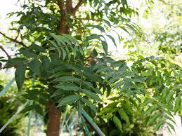 pistachio tree dallas treeland nursery
