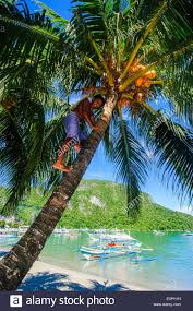 philippines coconut tree stock photos u0026 philippines coconut tree