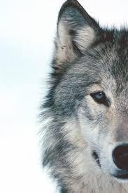 imagenes de fondo de pantalla lobos pin de sarah wolf en tattoo inpsiration pinterest el lobo el