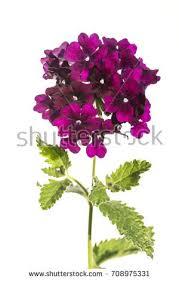 verbena flower verbena flower stock images royalty free images vectors