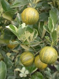 a tasty hardy and ornamental calamondin orange dokmai dogma