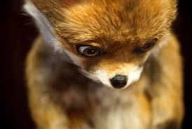 Stoned Fox Meme - stoned fox in moscow svinoy hryaschik