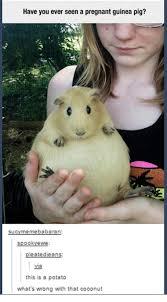 Funny Pig Memes - have you ever seen a pregnant guinea pig meme babaran su sooo ewe