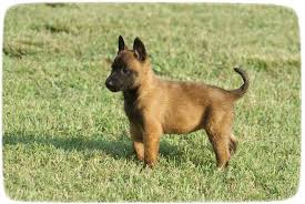 belgian malinois for sale belgian malinois puppies 3 months puppies pet photos gallery
