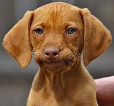 Puppy Face Meme - awesome puppy face meme why does my dog eat poop ethology institute