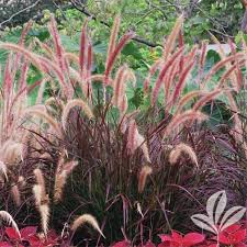 x ornamental grass pennisetum setaceum rubrum purple