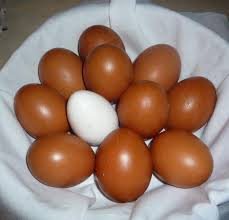 Backyard Poultry For Sale by Dark Cuckoo Marans Hatching Eggs For Sale The Atlanta Backyard