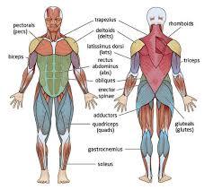printables muscle identification worksheet ronleyba worksheets