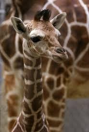 zoo miami u0027s carol kruse on florida mission everglades giraffe