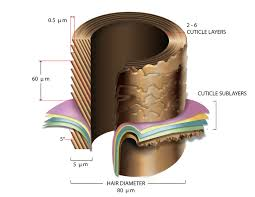 the structure of hair part 1 the cuticle dr syed blog