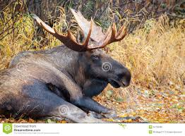 moose bull resting alaska usa royalty free stock photo image