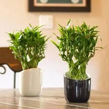 low light indoor plants low light indoor plants lucky bamboo ezpass club
