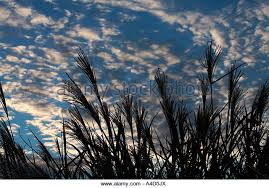 ornamental grass against sky stock photos ornamental grass