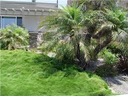 this sward of asian ornamental grass needs no mowing and requires