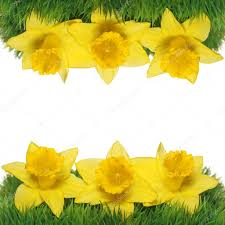 spring narcissus flowers border yellow daffodils on green grass