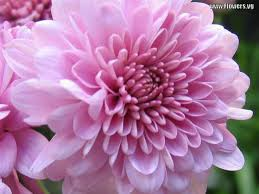 124 best mums images on pinterest chrysanthemums flower and