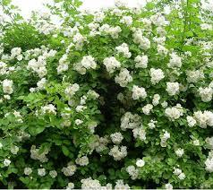 roses china 35 seeds white climbing roses china new live fresh seeds diy