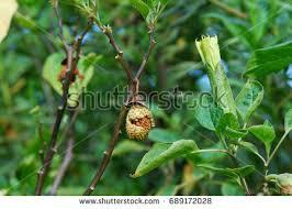 plants datura metel brugmansia apple stock photo 689172091