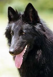 belgian sheepdog varieties belgian shepherd dog pedigree ireland