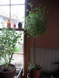 Bay Tree Topiary I U0027topiaried U0027 My Sweet Bay Sheepy Hollow Farm
