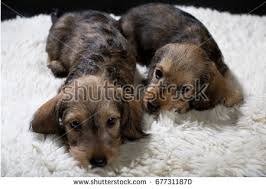 australian shepherd dachshund australian shepherd black tricolor head on stock photo 219321