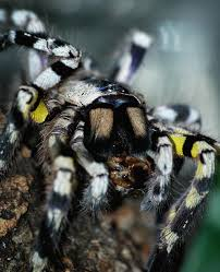 11 best indian ornamental tarantula images on spiders