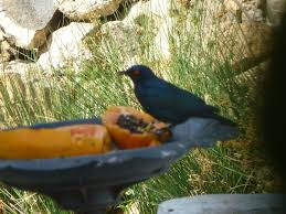 pics of south african wild birds backyard chickens