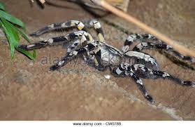indian ornamental tarantula poecilotheria regalis stock photos