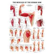 Human Anatomy Muscle 140 Best Muscles Images On Pinterest Fitness Exercises Workout