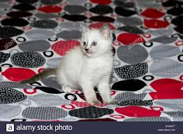 white kitten with blue eyes on a bed a subject beautiful kittens