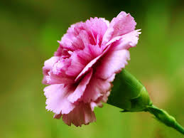 carnations 1 jpg