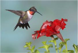 hummingbird flowers annuals for hummingbird gardens maine garden ideas