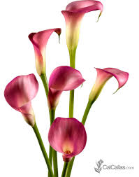 cala lillies bulk hot pink calla lilies fresh from california calcallas